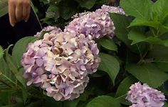 How to Choose and Plant Hydrangeas