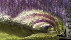 Wisteria Tunnel is located at the Kawachi Fuji Gardens in Kitakyushu, Japan. Flowering trees hang overhead and the different colored rows speckle the garden.