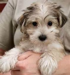 #morkie #dogs #cute.   Looks just like my Max!