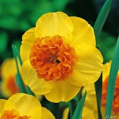 Large-cupped Narcissus Modern Art, orange cup, yellow petals. Very unusual