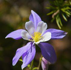 cool Colorado columbine flower Amazing