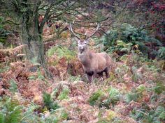 Stag on the moors