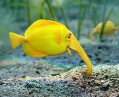 Callorhinchus milii Wow!  Looks like a mini yellow elephant under water...who knew?