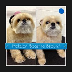 8 best before and after dog grooming photos images on pinterest bow wow beauty shoppe is a retro dog shoppe to pamper your pet we offer san diego pet grooming pet supplies dog bakery bar and non anesthetic solutioingenieria Images