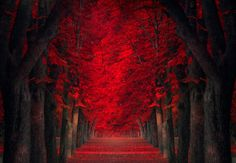 """Budapest-based photographer Ildiko Neer enjoys composing impressive natural environments retouched photos all together in the series called """"Dreamland"""". With beautiful colors, beautiful landscapes and enigmatic paths are discovered later in the article. World's Most Beautiful, Beautiful World, Beautiful Places, Beautiful Pictures, Absolutely Gorgeous, Red Maple Tree, Red Tree, Tree Tunnel, Tree Photography"""