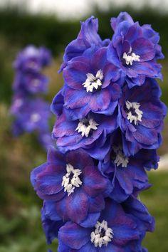 Dasante Blue Delphinium = beautiful but poisonous if ingested.