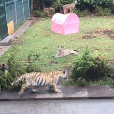 That pink house has been the best investment ever. It was meant for one of my dogs and look... Esa casita para mis perros ha sido una súper inversión, la Aman los bebes... #savepumas #savetigers #savelions #saveourplanet #behuman #notpets #nosonmascotas #blackjaguarwhitetiger #rescuedlions
