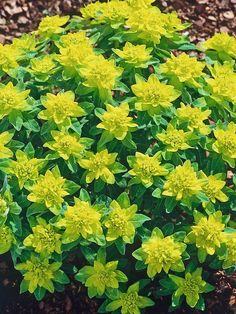 Growing Ground Covers Spurge Euphorbia Polychroma 24 Groundcover Plants for Sun On - Wood Ruff Sarah's Garden, Rock Garden Plants, Sun Plants, Shade Garden, Dream Garden, Border Plants, Ground Cover Plants, Drought Tolerant Plants, Gardens