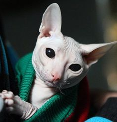 A sphynx cat. Precious baby. I love these cats