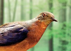 """Passenger Pigeon (Ectopistes migratorius). Billions to Zero in 30 years. By human hands. Article: """"The Mammoth Cometh"""". Bringing extinct animals back to life is really happening  - NYTimes.com."""