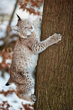 A Texas cat named Little D reminds me of a bobcat...