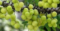 """El Amla es una planta originaria de Asia cuyos frutos conocidos como """"uvas de la India""""han sido utilizados desde hace cientos de años en la antigua medicina tradicional de Oriente. También se han usado por los nativos americanos con la misma finalidad. Estas bayas podrían ser capaces de prevenir y eliminar gran parte de las ..."""