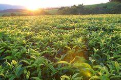 satemwa sunset Vineyard, Sunset, Plants, Photography, Outdoor, Sunsets, Outdoors, Photograph, Vine Yard