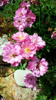 """""""La Tine d'amour"""" petit rosier parfait en rocaille ou pot. Mela Rosa, France. Parfait, France, Plants, Rose Trees, Rock Shower, Plant, Planting, Planets"""