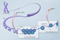 Epigenome: methylation, histone modification
