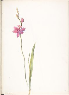 What a beautiful orchid drawing!