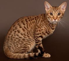 Top 10 Fluffy Cat Breeds List [+Parenting Simplified Tips] Ocicat, Fluffy Cat Breeds, Cat Races, Domestic Cat Breeds, Gatos Cool, Cat Allergies, Types Of Cats, Cat Pose, Serval