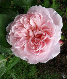 'Kathryn Morley'| Shrub. English Rose Collection. David C. H. Austin, 1990 | Flickr - © Hornet Arts