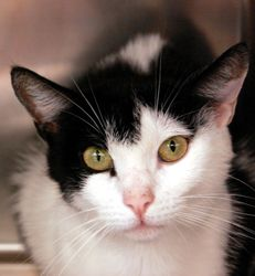 Zuzu is an adoptable Domestic Short Hair-Black And White Cat in Jersey City, NJ. Come meet me!