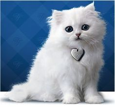 20 Fluffy White Cat Ideas Cats And Kittens Cute Cats Cats