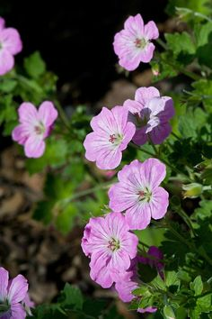 Geranium x Riversleaianum 'Mavis Simpson' - A grey-green carpet of round leaves is covered with a continuous aray of flat, silvery pink flowers. Very pretty.
