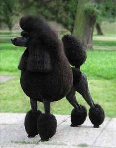 Poodle Özellikleri: Fransa'da Carniche Moyen, İtalya'da Barboncino miniatura diye bilinen Poodle, kare şeklinde bakımlı bir köpektir. Kafatası orta derecede hafif, ancak kesin bir durdurma yuvarlanır. Uzun, düz bir namlusu vardır. Koyu, oval şekilli olan gözleri kahverengi ya da siyah renklidir. Kulakları kafasının yan tarafında asılı, uzun ve düz bir şekilde durmaktadır. Her iki ön ve arka bacaklar köpeğin büyüklüğü ile orantılıdır. Kuyruğunu yukarıda tutar.