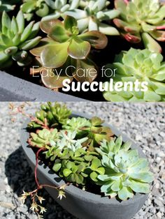 Succulents are extremely simple to propagate. They are mostly desert plants and can tolerate a lot of sunlight. Freshly planted succulents or propagat...