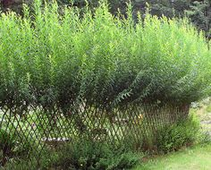 Living fence by lorayne, via Flickr. So cool! Don't think I have the patience to do this though.