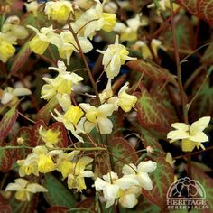 Barrenwort are superb shade-garden plants, excellent for edging or groundcover, and deserving much wider use in our gardens. In this selection, plants form a bushy mound of dark green leaves, bearing sprays of soft. Shade Garden Plants, Spring Plants, Spring Blooms, Yellow Flowers, Colorful Flowers, Sheridan Nurseries, Woodland Garden, Plant Sale, Gardens