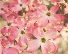 pink dogwood: by jessicasetorres