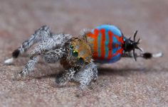 A male of the peacock spider species Maratus jactatus, which is nicknamed Sparklemuffin.<br />
