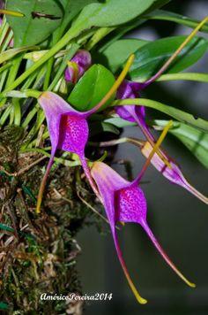 Masdevallia glandulosa - Orquídeas soltas