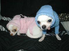 Goofy Chihuahuas senzminger