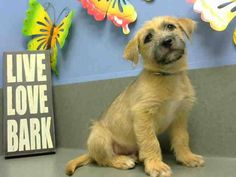 ** Owner Surrender ** Adopted & Returned  #A438588 (Moreno Valley, CA) neutered male, tan and black Terrier mix. The shelter thinks I am about 11 weeks old. I have been at the shelter since Aug 22, 2014 and I am available for adoption now!  https://www.facebook.com/135559229932205/photos/a.136024659885662.29277.135559229932205/347912335363559/?type=3&theater