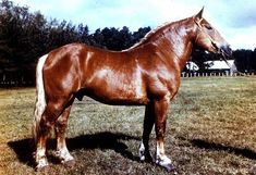 Lithuanian Heavy Draught Horse Info, Origin, History, Pictures   Horse Breeds Information