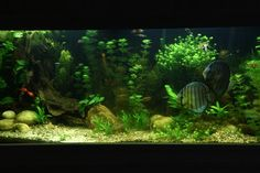 My first major aquascape. 75 Gallons with a variety of fish and plants. My two adult discus were the most expensive fish I have ever purchased.