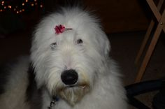 """Sheza Sweet Parti Girl, """"Sugah"""", our 6 month old OES."""