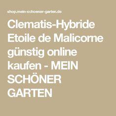 Clematis-Hybride Etoile de Malicorne günstig online kaufen - MEIN SCHÖNER GARTEN