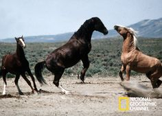 National Geographic, Fox, Horses, Animals, Documentaries, Horse, Foxes