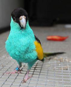 Australian Hooded Parrot