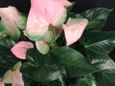 Anthurium, one of the most spectacular blooming houseplants. Give your home some color with blooms that last months!