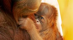 Baby orangutan conceived using fertility treatment makes history