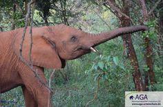 Morgens gehen die kleinen Elefanten mit ihrer kleinen Herde von Elefantenwaisen in den Nairobi Nationalpark, in dem auch das Elefantenwaisenhaus liegt. Nairobi, Aga, Elephant, Animals, Kenya, Wilderness, January, Elephants, National Forest