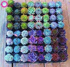 Unser beliebtester Juwelen-Sukkulenten-Mix Our Most Popular Jewel Succulent Mix – littleleafseeds - Great gardening ideas - Easy to grow plants - Wedding favors - Blue - Technicolor,