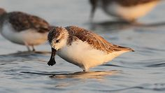 Rare Animals That Need Preservation: Spoon-Billed Sandpiper