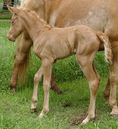 "Gold Champagne foal.  The champagne gene is a dominant gene that dilutes both red and black coat colors. ""Gold Champagne"" resembles palomino, ""Amber Champagne"" resembles Buckskin, classic Champagne resembles a grulla. However, in addition to coat color dilution, eyes are light-colored and skin is mottled or freckled."