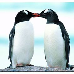 When a male penguin falls in love with a female penguin, he searches the entire beach to find the perfect pebble to present to her. When he finally finds it he waddles over to her and places it right in front of her. Kind of like a proposal.
