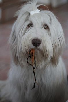 Bearded Collie 28.1 006