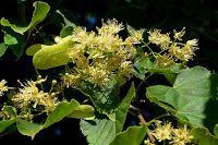 Zdrowie z roślin: Jej zalety doceniają zielarze, pszczelarze i rzeźbiarze - LIPA