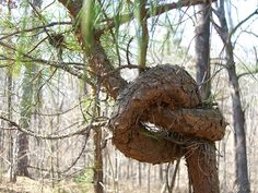 Now, THAT is a tree knot!